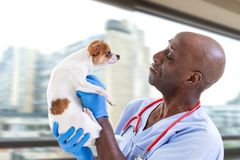 Portrait of a veterinarian doctor holding a chihuahua dog on animals clicnic royalty free stock image