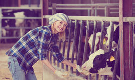 Portrait of veterinary technician feeding cows Royalty Free Stock Images
