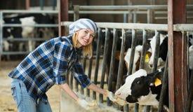 Portrait of veterinary technician feeding cows Royalty Free Stock Photo
