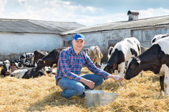 Portrait of veterinary technician feeding cows at farm. Portrait of Farmer feeding cows in farm Stock Image