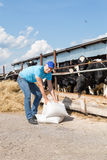 Portrait of veterinary technician feeding cows at farm. Portrait of Farmer feeding cows in farm Stock Photography
