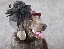 Portrait of Victorian style dog Royalty Free Stock Photos