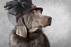 Portrait of Victorian style Weimaraner dog Stock Image