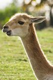 Portrait of Vicuna in backlight Stock Photography