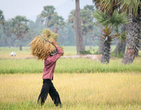 Portrait of Vietnamese farmer working on the rice Royalty Free Stock Photo