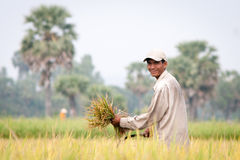 Portrait of Vietnamese farmer working on the rice Royalty Free Stock Image