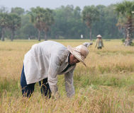 Portrait of Vietnamese farmer working on the rice Royalty Free Stock Photos