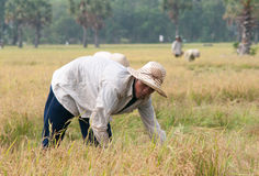 Portrait of Vietnamese farmer working on the rice Royalty Free Stock Photography