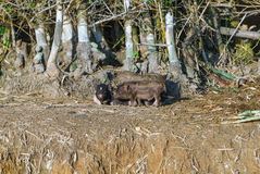 Portrait of Vietnamese small pigs on ground Stock Image