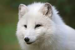 Portrait view Arctic Fox (Vulpes lagopus) Stock Photos