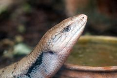 Blue-tongued lizard in zoo. Portrait view of Blue-tongued lizard in zoo royalty free stock images