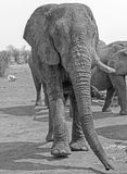 Portrait view of a Full Frame elephant in black & white Royalty Free Stock Photos