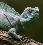 Portrait view of a Plumed basilisk Stock Photos