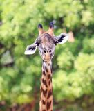 Close up portrait of a giraffe head and neck looking directly into camera with a natural tree background, South Lunagwa, Zambia. Portrait view of a Thornicroft Stock Photography
