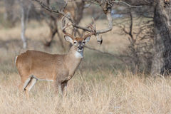 Portrait view of whitetail buck. Whitetail buck in portrait view Royalty Free Stock Photos