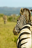 Portrait view of a zebra from behind Stock Photo