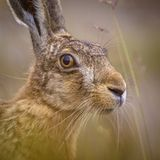 Portrait of vigilant European Hare in grass. Portrait of vigilant European Hare (Lepus europeaus) hiding in grass and relying on camouflage royalty free stock photography