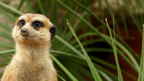 Portrait of vigilant meerkats.
