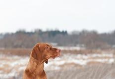 Portrait of a Vizsla dog in Winter Royalty Free Stock Photo