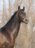 Portrait von Akhal-teke Stallion Stockfotografie