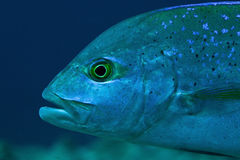 Portrait von Blue-fin trevally, Maldives Lizenzfreies Stockfoto
