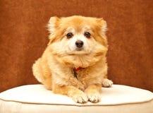 Portrait von einem Pomeranian Lizenzfreies Stockbild