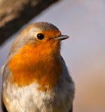 Portrait von einem Robin stockfotografie