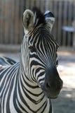 Portrait von Zebra. Stockfoto