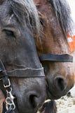 Portrait von zwei braunen Pferden Stockfotografie
