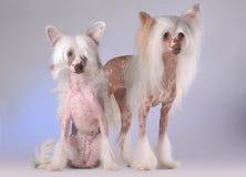 Portrait von zwei chinesischen mit Haube Hunden Stockfoto