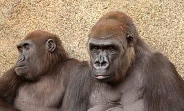 Portrait von zwei Gorillas Stockbild