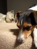 Portrait von zwei Hunden Stockbild