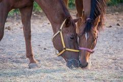Portrait von zwei Pferden stockbilder