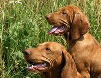 Portrait von zwei Vizsla Hunden lizenzfreie stockfotos