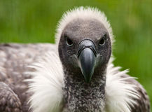 Portrait of a Vulture Royalty Free Stock Photo