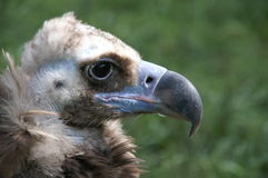 Portrait of vulture. Side portrait of vulture bird outdoors with green nature background royalty free stock photo