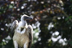Portrait of vulture bird Stock Photo