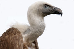 Vulture Stock Photos