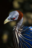 Portrait of the Vulturine Guineafowl Royalty Free Stock Image