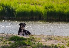 Portrait of a waiting dog. Observant dog royalty free stock photography