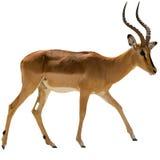 Portrait of walking Blackfaced Impala isolated on white royalty free stock photo