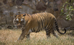 Portrait of a walking male wild tiger Royalty Free Stock Image