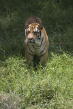 Portrait of a walking male wild tiger. Portrait of male wild tiger in action Stock Photos