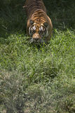 Portrait of a walking male wild tiger. Portrait of male wild tiger in action Royalty Free Stock Photo