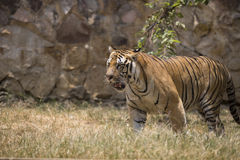 Portrait of a walking male wild tiger. Portrait of male wild tiger in action Royalty Free Stock Images