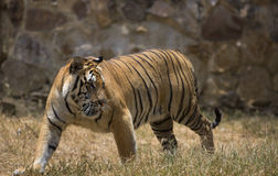 Portrait of a walking male wild tiger. Portrait of male wild tiger in action Stock Photo