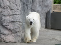 Portrait of walking Polar Bear Royalty Free Stock Photos