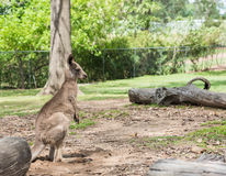 Portrait of a wallaby Stock Images