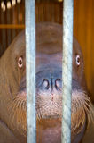 Portrait of a walrus. In the cage Royalty Free Stock Image