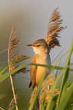 Portrait of a warbler. Portrait of a great reed warbler perching on a reed in the early morning light Stock Photo
